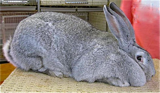 About Flemish Giants Gentle Giants Rabbitry